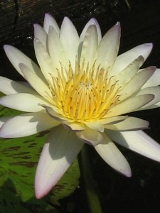 Kenilworth Lotus