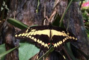 CR butterfly
